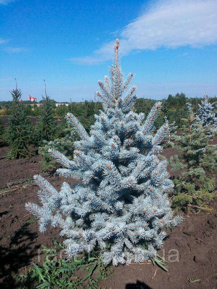 Ель колючая Хупси (Picea pungens Hoopsii)