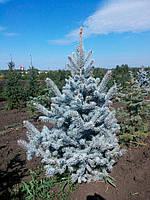 Ель колючая Хупси (Picea pungens Hoopsii), фото 1