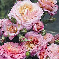 Роза флорибунда Кантри Герл