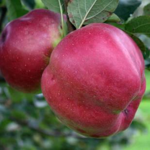 Саджанці Яблуні Джумбо Помм - зимова, крупноплідна, врожайна