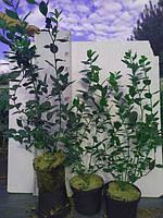 Саженцы Голубики садовой