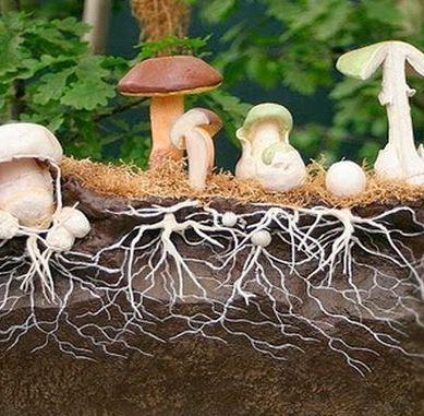 Что такое мицелий грибов и как его вырастить дома?