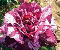 Роза флорибунда Пурпл Тайгер