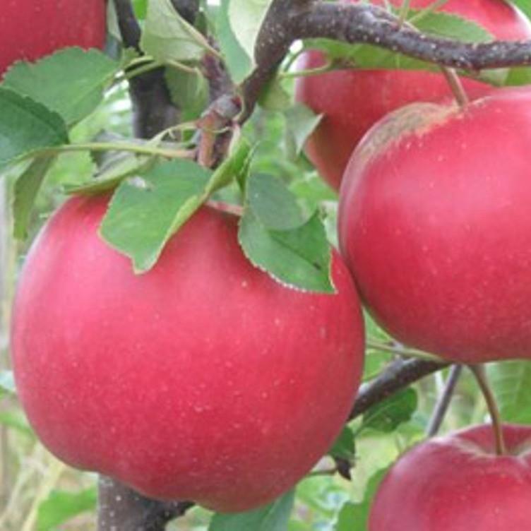 Саженцы Яблони Богемия - зимняя, крупноплодная, зимостойкая