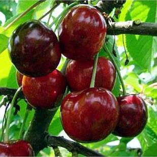 Саджанці Черешні Василина - середнього терміну, урожайна, крупноплідна