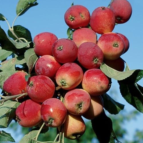 Саджанці райської яблуні Райка червона