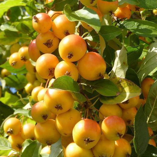 Саджанці райської яблуні Райка жовта