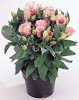 Еустома Флоріда F1, 100 шт, рожева