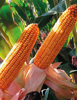 Купити насіння кукурудзи Нованія