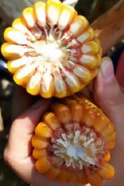 Купити насіння кукурудзи Оханна