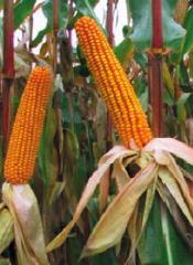Купити насіння кукурудзи Балерина
