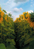 Купити насіння соняшника Сілует