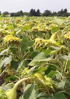 Купити насіння соняшника Патріція КЛ