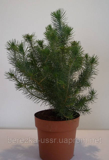 Сосна в горшочке  pinus pinea silver crest