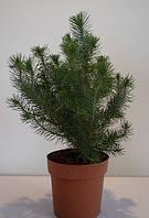 Сосна в горшочке  pinus pinea silver crest, фото 1