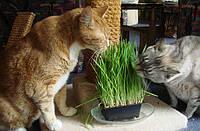 Живая трава  полезная для кошек