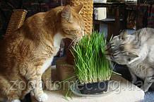 Жива трава корисна для кішок