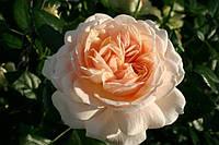 Роза флорибунда Крем Фловер Цыркус