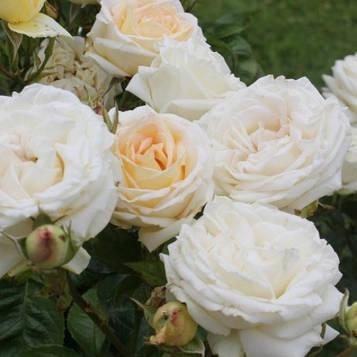 Роза Мадам Анисет