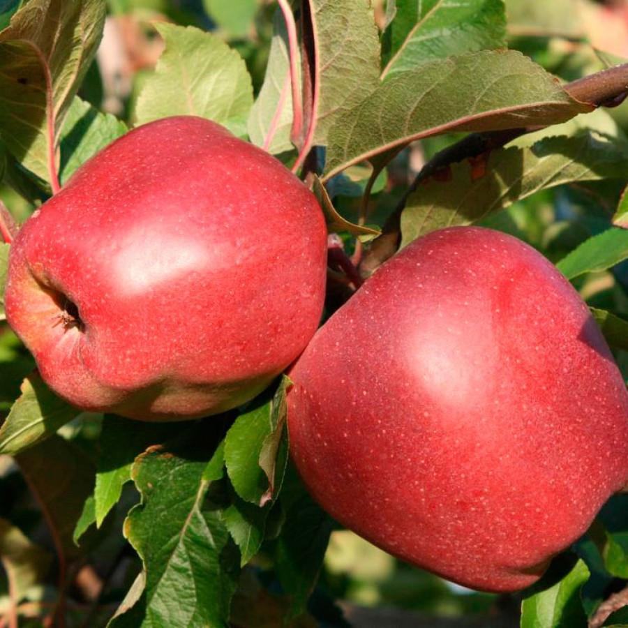 сорта яблок для беларуси в картинках решил найти