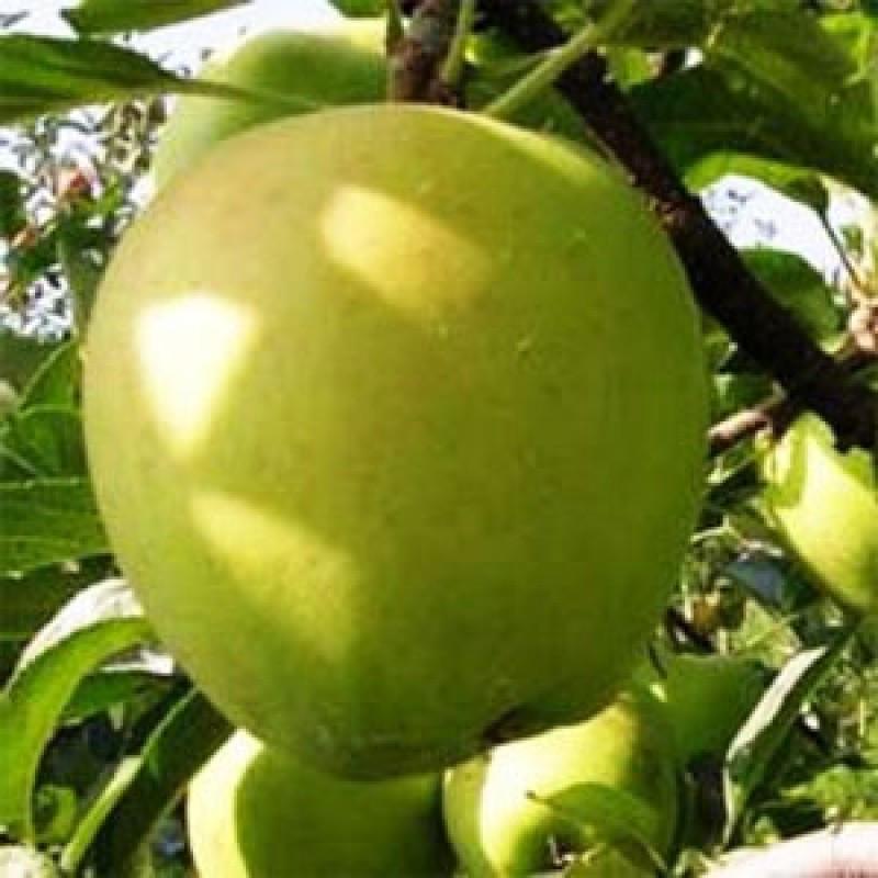 Саджанці Яблуні Голден Смуті (Гібсон ) - зимова, урожайна, зимостійка