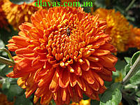 Хризантема  корейская РАНЯЯ (с августа), фото 1