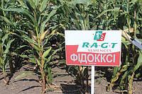 Насіння кукурудзи РЖТ Ліпеккс  ФАО 290