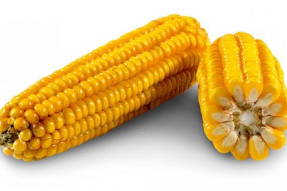 Насіння кукурудзи РЖТ Кксаві ФАО 310