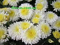 Хризантема  раняя  корейская черенок, фото 1