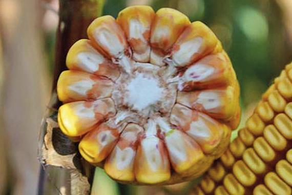 Насіння кукурудзи РЖТ Аллекксандра  ФАО 350