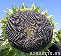 Семена подсолуха Сумо 2017 (устойчивые к гербицидам  Гранстар).Фракция Екстра, фото 1