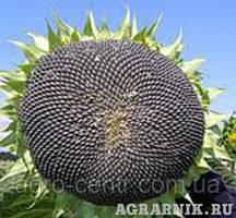 Семена подсолуха Сумо 2017 (устойчивые к гербицидам  Гранстар).Фракция Екстра