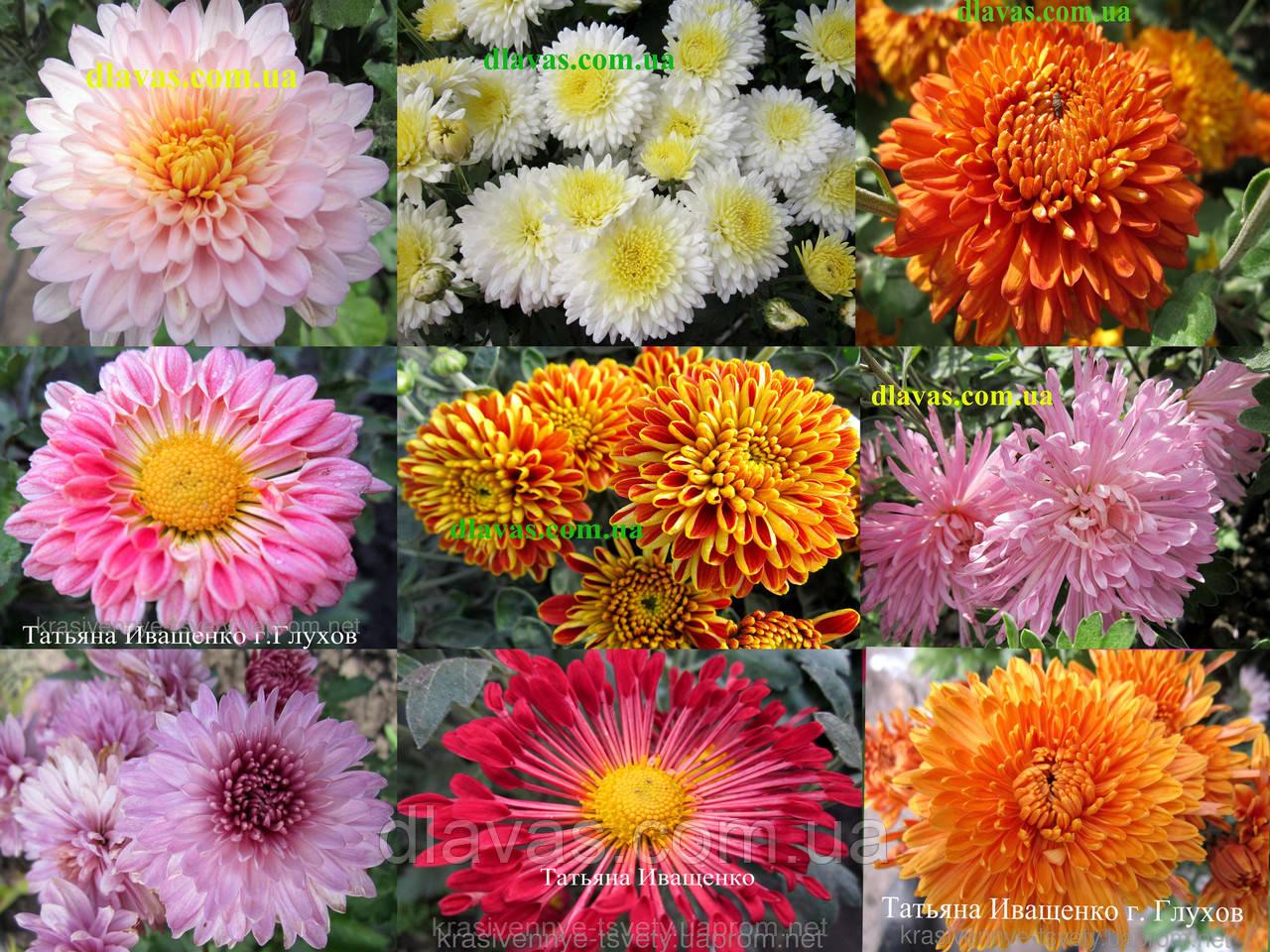 Хризантема  цветущая