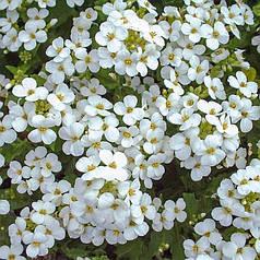 Семена Арабис альпийский белый 0,1 г W.Legutko 5006