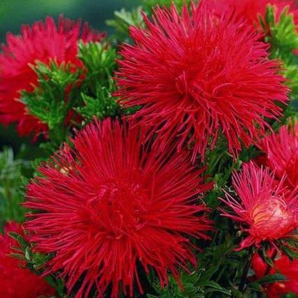 Семена Астра Идеал красная 0,1 г W.Legutko 5007, фото 2