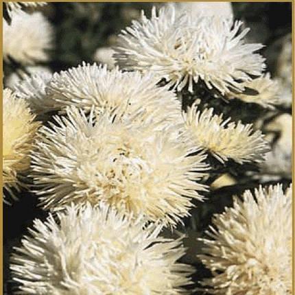 Семена Астра Идеал кремовая 0,1 г W.Legutko 5008, фото 2