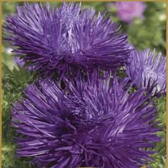 Семена Астра Идеал насыщенно-лиловая 0,1 г W.Legutko 5010