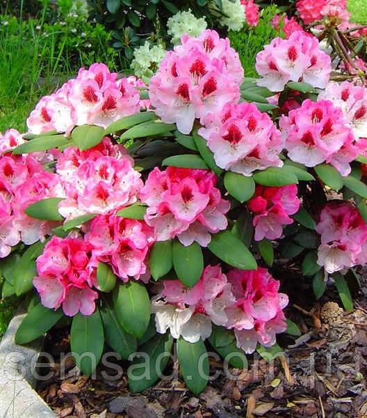 Рододендрон Николетта  \ Rhododendron «Nicoletta» ( саженцы 3 года)