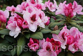 Рододендрон Николетта  \ Rhododendron «Nicoletta» ( саженцы 3 года), фото 2