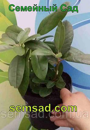 """Рододендрон  вечнозеленый """" Олд Порт"""" \ Rhododendron ''Old Port'' (саженцы 3 года ЗКС), фото 2"""
