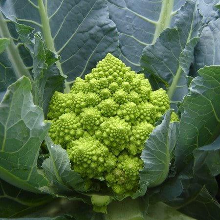 Семена цветной капусты Пунтоверде F1, крупная фасовка 2 500 семян, Растения rijk zwaan в Украине