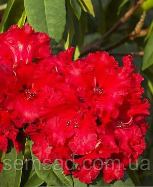 "Рододендрон  вечнозеленый "" Таурус"" \ Rhododendron ''Taurus'' (саженцы 3 года ЗКС), фото 2"