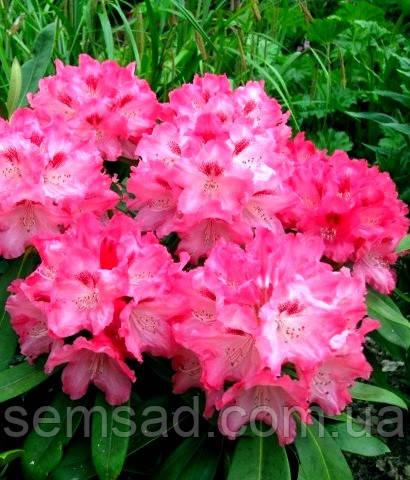 "Рододендрон "" Снизи "" \ Rhododendron Sneezy ( саженцы 3 года ЗКС )"