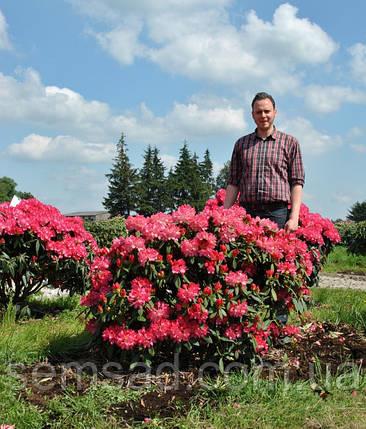 "Рододендрон "" Снизи "" \ Rhododendron Sneezy ( саженцы 3 года ЗКС ), фото 2"