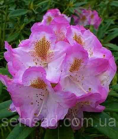"""Рододендрон """" Бригитта """" \ Rhododendron  Brigitte ( саженцы 3 года ЗКС )"""