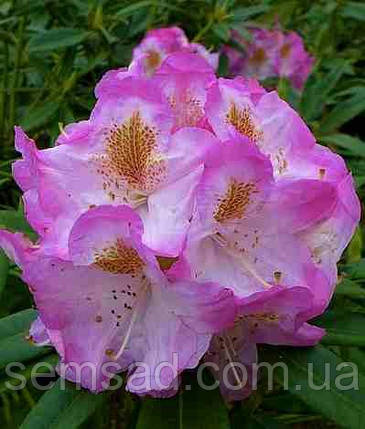 """Рододендрон """" Бригитта """" \ Rhododendron  Brigitte ( саженцы 3 года ЗКС ), фото 2"""