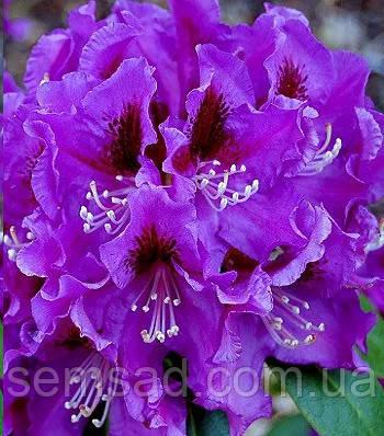 """Рододендрон """" Распутин """" \ Rhododendron Rasputin  ( саженцы 3 года ЗКС )"""