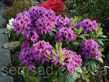 "Рододендрон "" Распутин "" \ Rhododendron Rasputin  ( саженцы 3 года ЗКС ), фото 2"