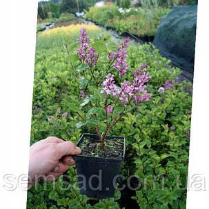 "Сирень Сенсация \  Syringa vulgaris "" Sensation""( саженцы 2 года), фото 2"