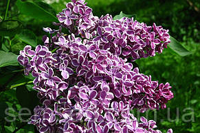 "Сирень Сенсация \  Syringa vulgaris "" Sensation""( саженцы 2 года), фото 3"
